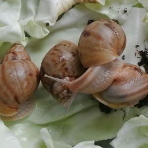 achatina-i-immaculata-lichte-variant