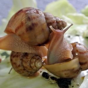 Achatina-immaculata-lichte-variant