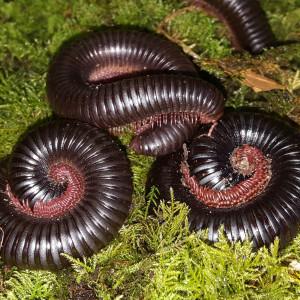 Mardonius parilis acuticonus