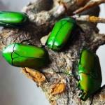 smaragdgroene rozenkever - Pachnoda africana africana